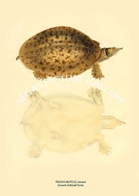 Fine art print of the TRIONYX MUTICUS, Lesueur - Smooth Softshell Turtle by John Edwards Holbrook (1840)